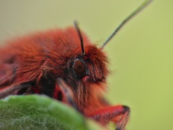 Close up macro shot of a Ruby Tiger Moth on a green leaf. Photo taken in the United Kingdom.