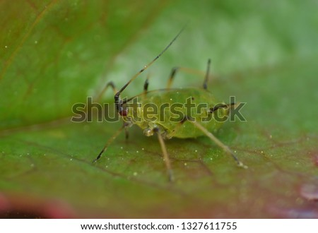 Close up macro shot of a small green aphid on a rose leaf. photo taken in the United Kingdom.