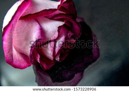 Close up macro shot of pink rose on centered with big petals. Big petals of fresh pink rose. Valentines Day symbol of love, background design