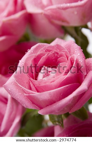 Close-up (macro) shot of pink roses