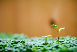 Close Up Macro Shot of Tiny Plants Growing Above Surface To Reach and Compete for the Light with Wood Background