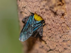 Close up macro the Carpenter Bee making a nest on the branch of Acacia tree
