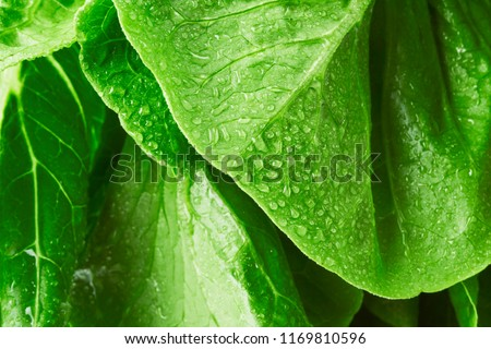 Close-up macro view of fresh green Lettuce leaves with water drops, high resolution