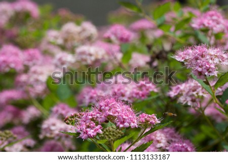 Close up macro view of newly blossoming tiny bright pink compact spirea (Spiraea) flower clusters #1113133187