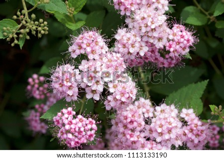 Close up macro view of newly blossoming tiny bright pink compact spirea (Spiraea) flower clusters #1113133190