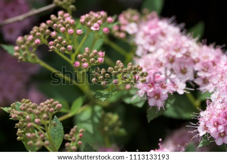 Close up macro view of newly blossoming tiny bright pink compact spirea (Spiraea) flower clusters #1113133193