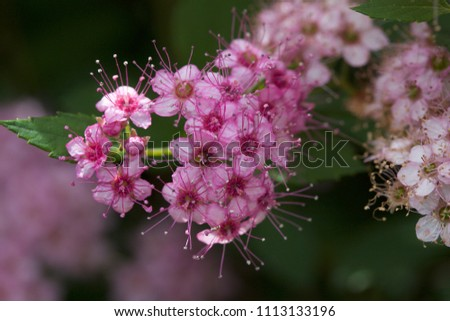 Close up macro view of newly blossoming tiny bright pink compact spirea (Spiraea) flower clusters #1113133196