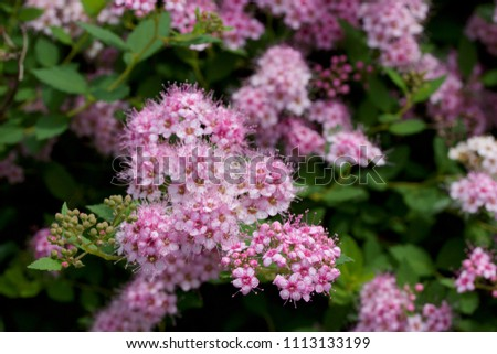 Close up macro view of newly blossoming tiny bright pink compact spirea (Spiraea) flower clusters #1113133199