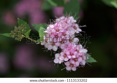 Close up macro view of newly blossoming tiny bright pink compact spirea (Spiraea) flower clusters #1113133202