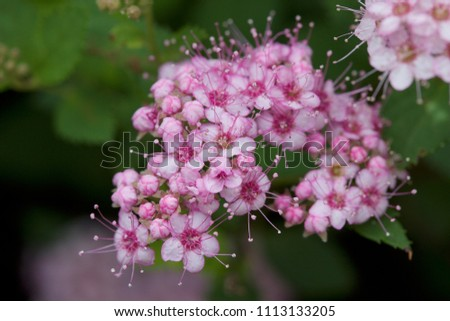 Close up macro view of newly blossoming tiny bright pink compact spirea (Spiraea) flower clusters #1113133205