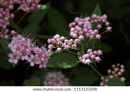 Close up macro view of newly blossoming tiny bright pink compact spirea (Spiraea) flower clusters #1113133208