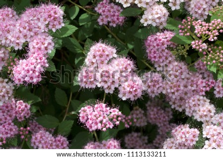 Close up macro view of newly blossoming tiny bright pink compact spirea (Spiraea) flower clusters #1113133211