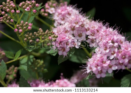 Close up macro view of newly blossoming tiny bright pink compact spirea (Spiraea) flower clusters #1113133214