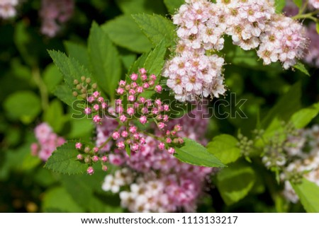 Close up macro view of newly blossoming tiny bright pink compact spirea (Spiraea) flower clusters #1113133217