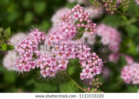 Close up macro view of newly blossoming tiny bright pink compact spirea (Spiraea) flower clusters #1113133220
