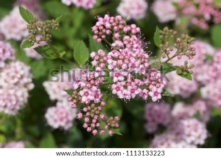 Close up macro view of newly blossoming tiny bright pink compact spirea (Spiraea) flower clusters #1113133223
