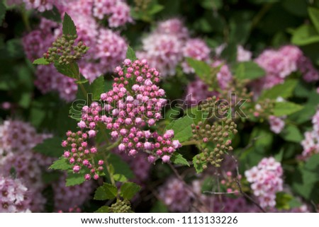 Close up macro view of newly blossoming tiny bright pink compact spirea (Spiraea) flower clusters #1113133226