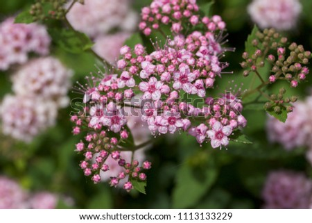 Close up macro view of newly blossoming tiny bright pink compact spirea (Spiraea) flower clusters #1113133229
