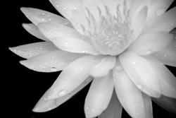 Close up macro white lotus flower on black background