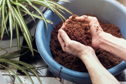close up male hands holding Coconut coir  blue bucket