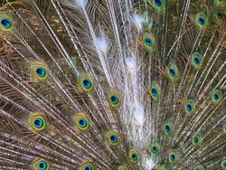Close up male peacock tail, which has very long feathers that have eye-like markings and erected and fanned out in display.