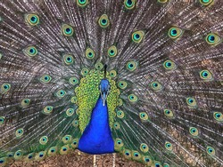 Close up male peacock, which has very long tail feathers that have eye-like markings and erected and fanned out in display