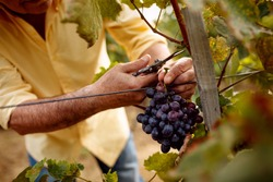 close-up man picking red wine grapes on vine in vineyard