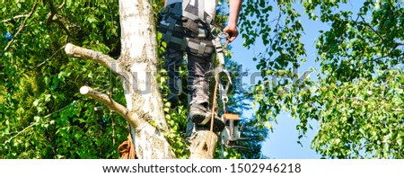 Close-up mature professional male tree trimmer high in top birch tree cutting branches with gas powered chainsaw and attached with headgear for safe job. Expert to do dangerous work.