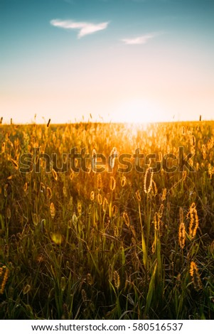 Close Up Meadow Grass In Yellow Sunlight And Bokeh, Boke Background. Later Summer Or Early Autumn Season. Blue Sunset Sunrise Sky Over Field Meadow Grass #580516537