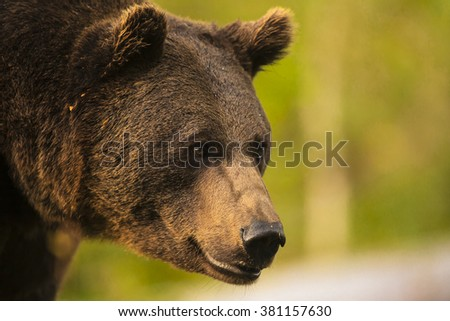 Close up meeting with strong bear head (Ursus arctos). Bear eyes watching very closely on the green background in nature habitat. Wildlife scene. #381157630