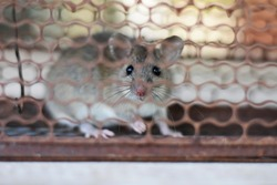 close-up mice or rat caught in a trap with natural background