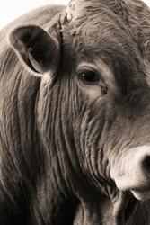 Close up monochrome darkbrown portrait of Bull - Image