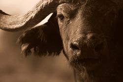 Close up monochrome portrait of cape buffalo head and horn