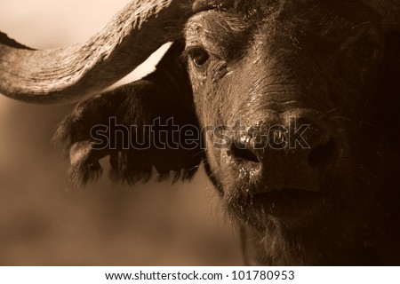 Close up monochrome portrait of cape buffalo head and horn