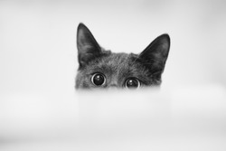 Close up monochrome shot of dark grey cat with big eyes curiously peeking out from behind white paper. Copy, empty space for text