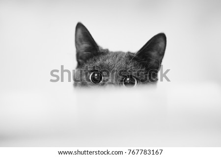 Stock Photo Close up monochrome shot of dark grey cat with big eyes curiously peeking out from behind white paper. Copy, empty space for text