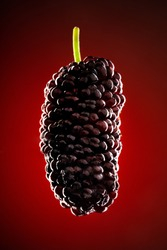 Close up mulberry.  Ripe and delicious  black mulberry on red background. Black mulberry hanging in the air.