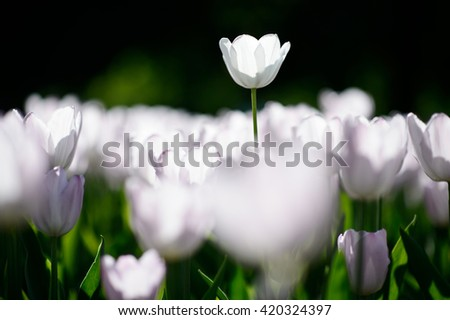 stock photo close up natural flowers background amazing view of colorful white tulips blooming in the garden 420324397 - Каталог — Фотообои «Цветы»