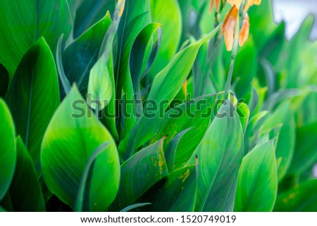 Close-up natural view of green leaves, large leaves along the lines, to decorate the garden, or to decorate the house, park, for the beauty of the spectators. #1520749019