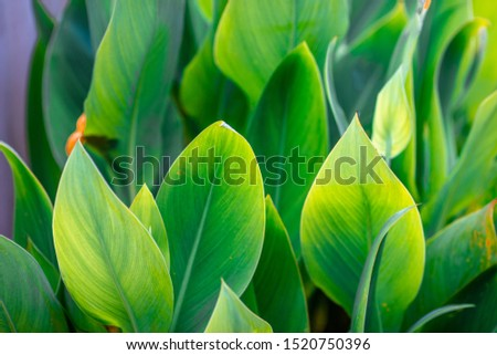 Close-up natural view of green leaves, large leaves along the lines, to decorate the garden, or to decorate the house, park, for the beauty of the spectators. #1520750396