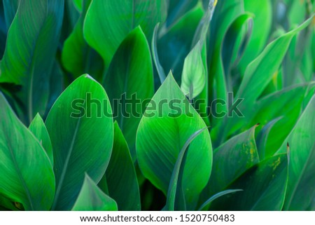 Close-up natural view of green leaves, large leaves along the lines, to decorate the garden, or to decorate the house, park, for the beauty of the spectators. #1520750483