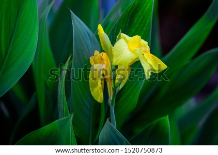 Close-up natural view of green leaves, large leaves along the lines, to decorate the garden, or to decorate the house, park, for the beauty of the spectators. #1520750873