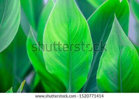 Close-up natural view of green leaves, large leaves along the lines, to decorate the garden, or to decorate the house, park, for the beauty of the spectators. #1520771414