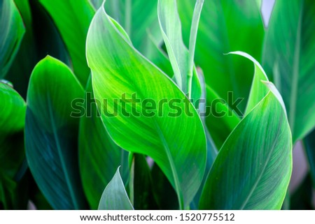 Close-up natural view of green leaves, large leaves along the lines, to decorate the garden, or to decorate the house, park, for the beauty of the spectators. #1520775512