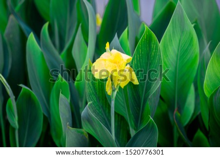 Close-up natural view of green leaves, large leaves along the lines, to decorate the garden, or to decorate the house, park, for the beauty of the spectators. #1520776301