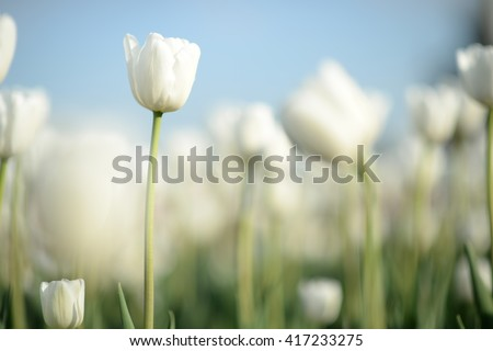 Close up nature view of amazing white tulips blooming in garden at middle of spring under sunlight. Natural sunny flower plants landscape and blue sky as a background.