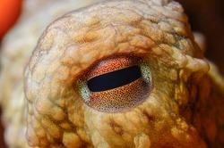 Close-up octopus eye (Octopus vulgaris Cuvier, 1797) Gallipoli, Canakkale, Turkey