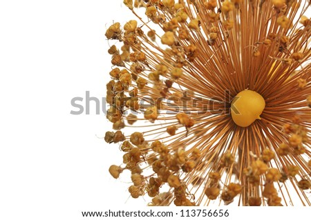 Close-up of a Aallium Seedhead