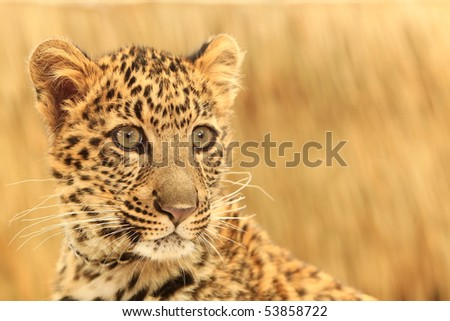 Close up of a African Spotted Leopard - stock photo