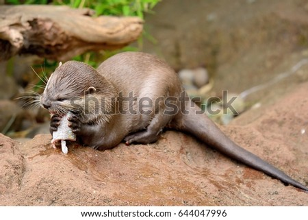 close up of a an otter eating a fish